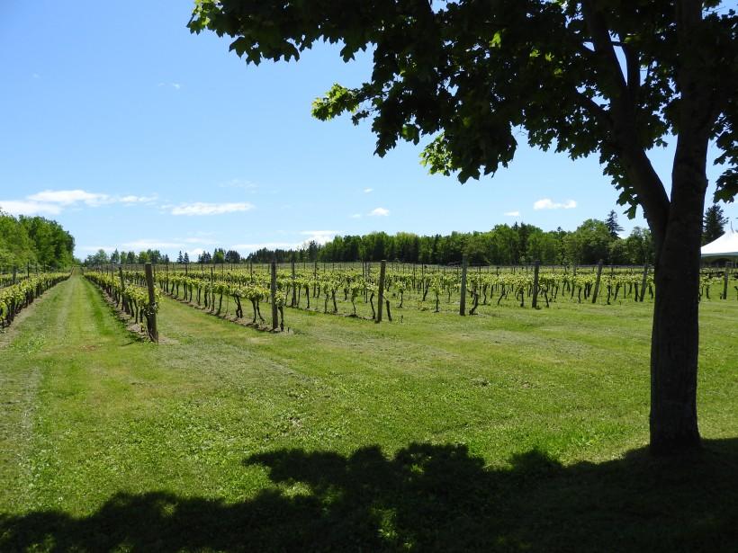 Jost winery vines