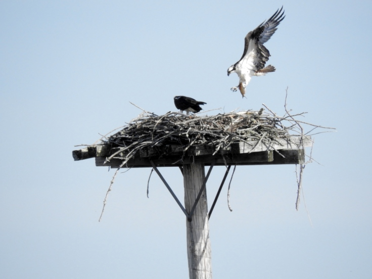 Osprey bring fish to Nest