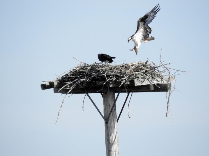 Osprey bring fish to Nest
