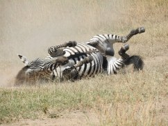 Zebra's one by one follow and rolling in same spot, get up and continue
