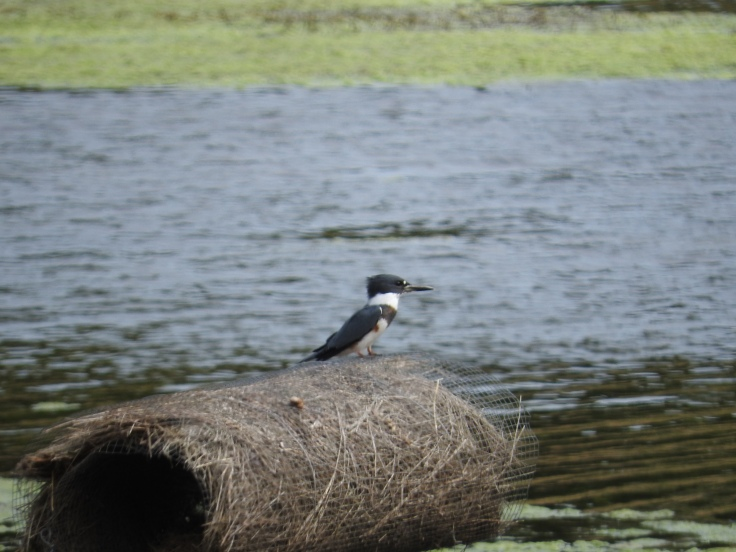 Belted King fisher In Mathews Cover Park