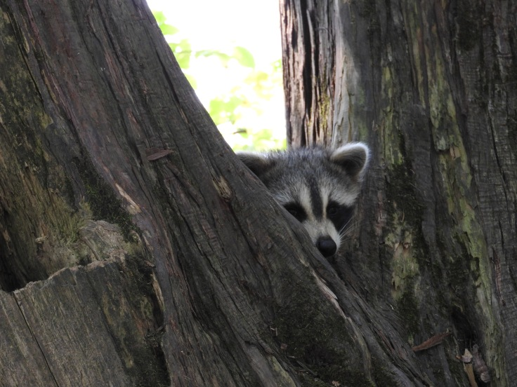 Raccoon in Tree sleeping Meenans Park quispamsis