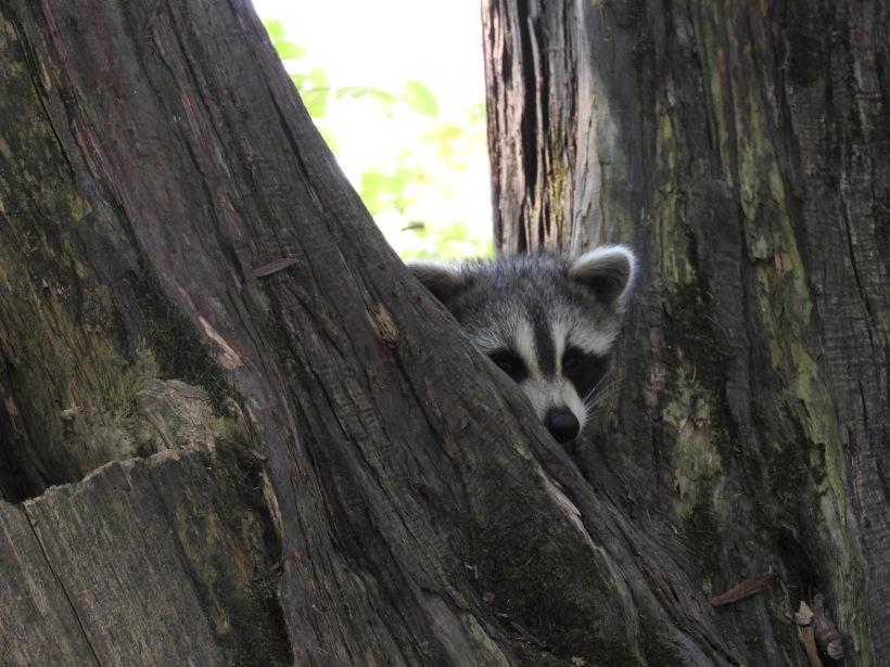 Raccoon in Tree sleeping Meenans Park quispamsis