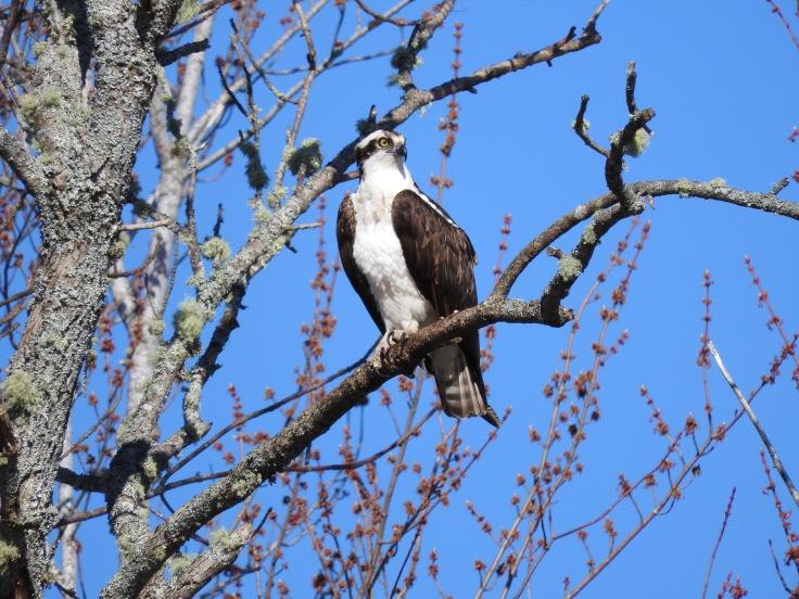 Osprey Jemseg