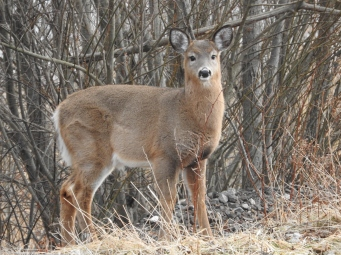 Deer on side of train tracks grazing Fort Dufferin Road Saint John West