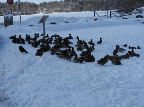 Ducks resting in the snow on side of the partially frozen pond