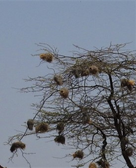 weaver bird nest in trees