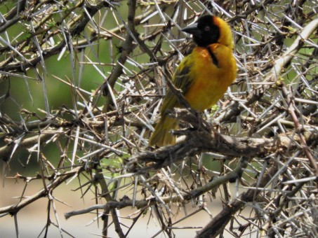 weaver bird among the thorns.
