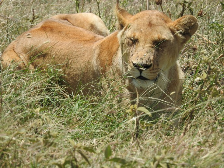 Lioness beside the road napping