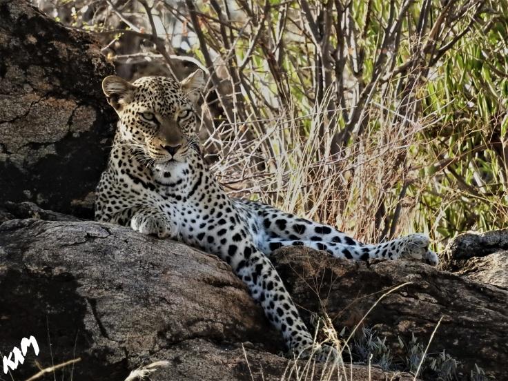 Leopard on Rocks
