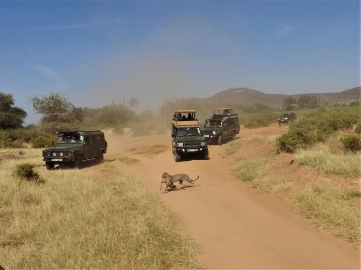Leopard Moving its Kill