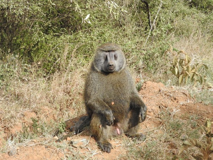 Large baboon that lunged up at me