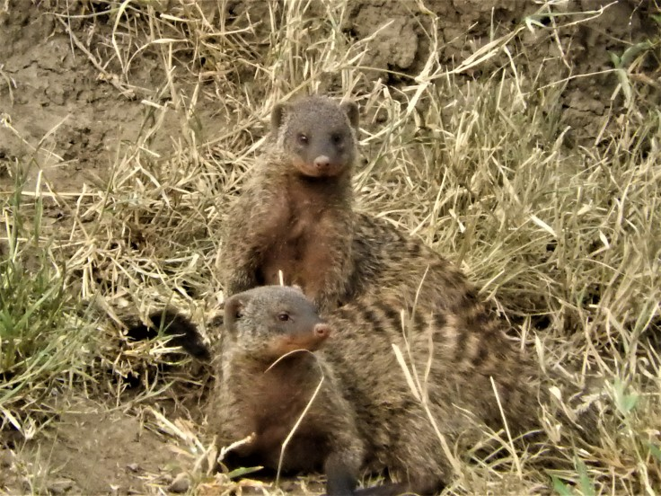 Mongoose den of babies