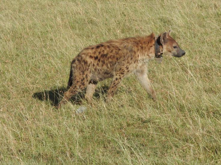 Collared Hyena