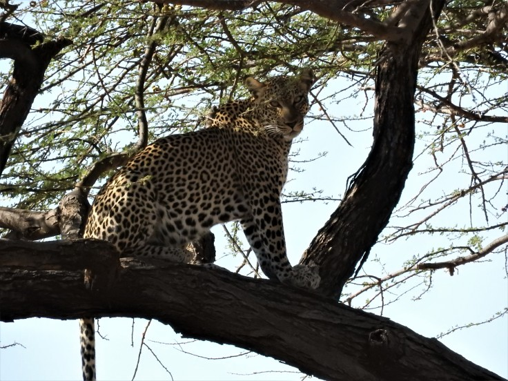 Leopard in tree Samburu