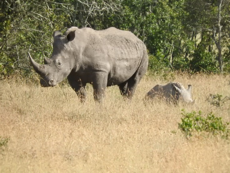 White rhino and her baby