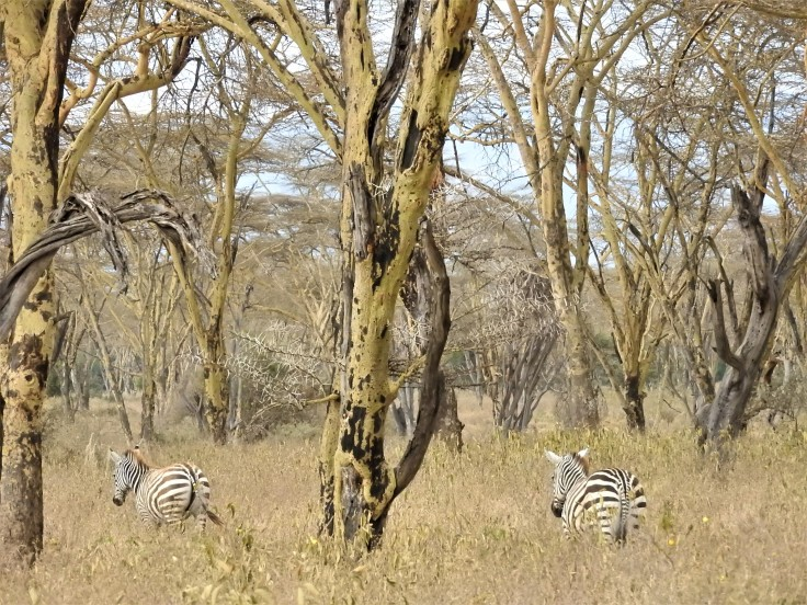 Two zebra in the tree cover