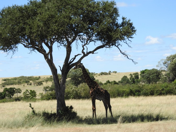 Giraffe in the shade of a a tree Tanzania