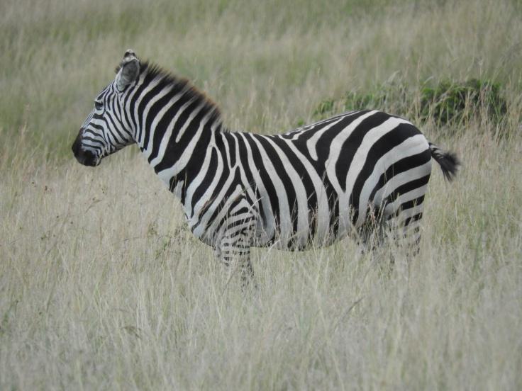 Final zebra photo