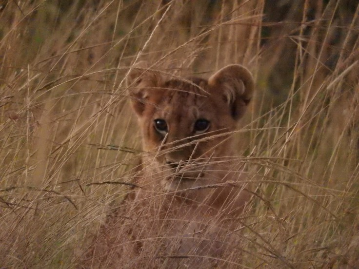 Lion cub alone in the grass