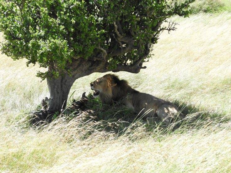 Lion under a tree
