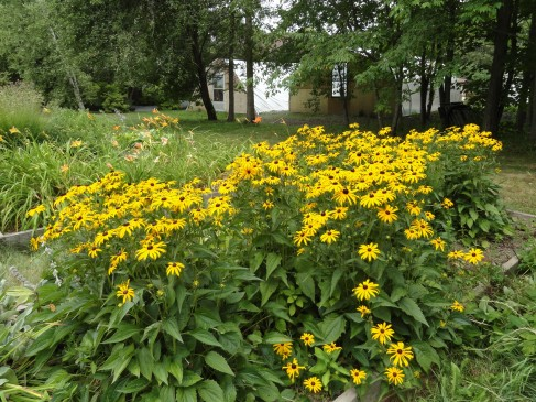 Black-eyed susan's in the botanical gardens of Odell Park