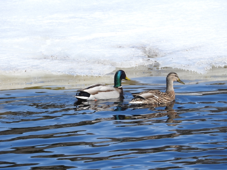 Pair of mallards in thawed enclosure.