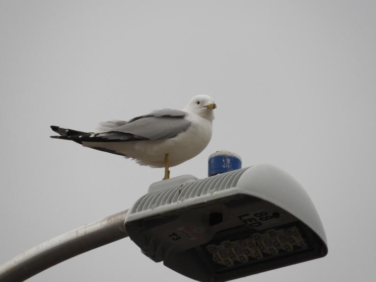 Gull on lamp post