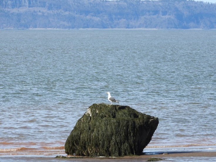 Seagull on a rock at low tide. Parrsborro, Nova Scotia