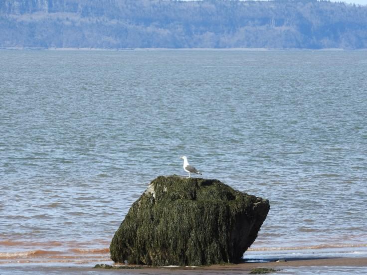 Seagull on a rock at low tide. Parrsborro, Nova Scotia
