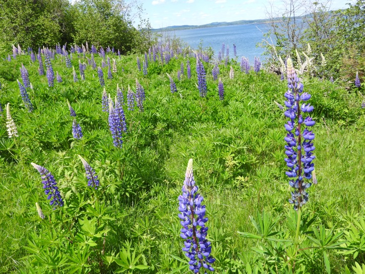 Wild blooming Lupins