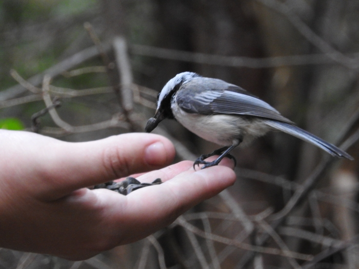 chickadee feeding from hand